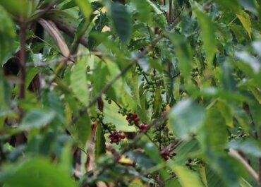 Різновиди кавових деревЕфіопії