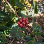 cafeimportstanzaniacb-14