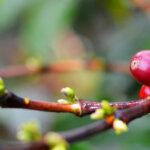 Cherries for Twitter