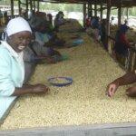 Sorting coffee at Musasa